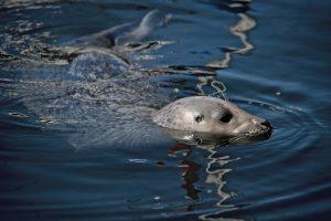 Seal in Fisherman's Wharf