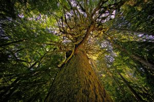 The Red Creek fir