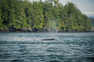 Whale in Telegraph Cove