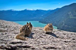 Squirrels in Squamish