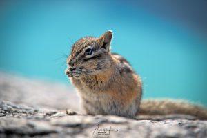Squirrel in Squamish