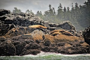 Sea lions community