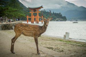 Deer on Miyajima