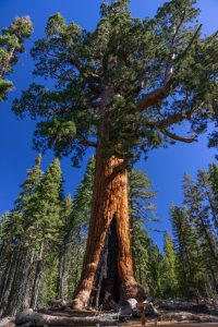 Huge tree in Yosemite National Park